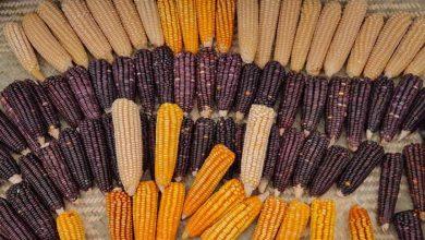 Photo of El maíz representa nuestra identidad y enaltece el sabor de la cocina oaxaqueña